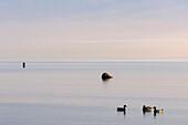 Ducks on the Baltic Sea, Boltenhagen, Ostseeküste, Mecklenburg-Western Pomerania Germany