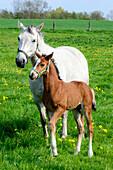 Horses with foals on a meadow, Insel Poel, Ostseeküste, Mecklenburg-Western Pomerania, Germany