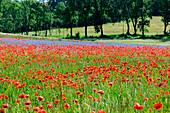Poppy field on Rügen, Baltic Sea coast, Mecklenburg-Vorpommern, Germany