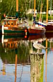 Seagull in the harbor Greifswald, Baltic Sea coast, Mecklenburg-Western Pomerania, Germany