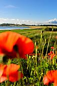 Landscape with poppies, Zickerschen Alps, Moenchgut, Rügen, Ostseeküste, Mecklenburg-Vorpommern, Germany
