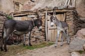 Donkey in mountain village Kandovan, Eastazerbaijan, Iran, Asia