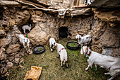 Goats in oasis of Nayband, Iran, Asia