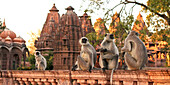 Monkeys at the temple of Mandore, Rajasthan, India, Asia