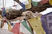 Straying dog between prayer flags, Leh, Ladakh, India, Asia