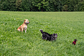 Three dogs in a meadow, Bad Kohlgub, Upper Bavaria, Germany