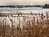 View through the reeds to the geese at the frozen Riegsee, in the background Neuegling and the Ammergau Alps in the haze, Aidling, Upper Bavaria, Germany