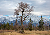 View of an imposing tree in Murnauer Moos, in the background the Bavarian Prealps with Herzogstand and Heimgarten, Grafenaschau, Upper Bavaria, Germany