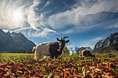 Goats grazing in the autumnal landscape at Watzmann, Ramsau, Upper Bavaria, Germany