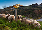 Sheep grazing in the Berchtesgaden Alps, Schwarzbach, Upper Bavaria, Germany
