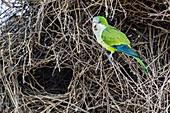 An adult monk parakeet (Myiopsitta monachus), building a communal nest, Pousado Alegre, Brazil, South America