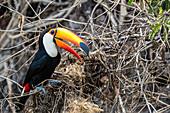 An adult toco toucan (Ramphastos toco), raiding a nest near Porto Jofre, Mato Grosso, Brazil, South America