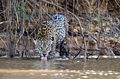 An adult female jaguar (Panthera onca), on the riverbank of Rio Tres Irmao, Mato Grosso, Brazil, South America