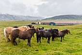 A herd of Icelandic horses on a farm on the southeast coast of Iceland, Polar Regions