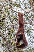 Bornean orangutan (Pongo pygmaeus), Buluh Kecil River, Borneo, Indonesia, Southeast Asia, Asia