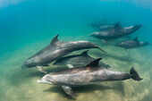 A pod of common bottlenose dolphins (Tursiops truncatus), underwater at El Mogote, Baja California Sur, Mexico, North America