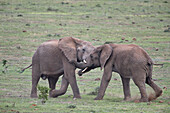 Two African Elephant (Loxodonta africana) bulls testing their strength, Addo Elephant National Park, South Africa, Africa