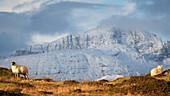 Mountain sheep in winter, Isle of Skye, Inner Hebrides, Scotland, United Kingdom, Europe