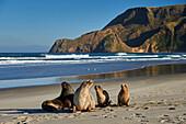 A group of juvenile New Zealand sea lions (Hooker's sea lions) at Allans Beach, Otago Peninsula, Otago, South Island, New Zealand, Pacific