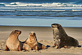 A male New Zealand sea lion (Hooker's sea lion) guards juvenile females of the species on Allans Beach, Otago Peninsula, Otago, South Island, New Zealand, Pacific
