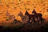 Feral donkeys roam the semi arid national ark