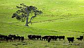 Wagyu cattle peacefully grace on Mayura Station