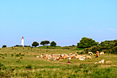 Herd of cows in front of lighthouse Dornbusch, Hiddensee, Ruegen, Baltic Sea coast, Mecklenburg-Vorpommern, Germany
