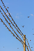 Countless swallows on power line in the village of Grieben, Hiddensee, Ruegen, Ostseekueste, Mecklenburg-Vorpommern, Germany
