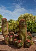 Cactus garden in the museum Museo del Queso Majorero and Molino de Antigua at Antigua, Fuerteventura, Canary Islands, Islas Canarias, Atlantic Ocean, Spain, Europe