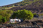 Wine growing area La Geria at the foot of the Montanas del Fuego de Timanfaya, Lanzarote, Canary Islands, Islas Canarias, Spain, Europe