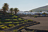 Village of Mancha Blanca with palm trees, Lanzarote, Canary Islands, Islas Canarias, Spain, Europe