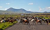 Flock of goats near  Tahiche, Lanzarote, Canary Islands, Islas Canarias, Spain, Europe