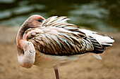 Close-up of an immature Caribbean Pink Flamingo (Phoenicopterus ruber) preening.