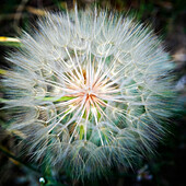 Close-up of a dandelion with seeds.