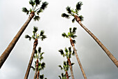 Looking up at two rows of palm trees, Los Angeles, California.