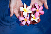 Female hands holding  tropical flowers Plumeria (common name Frangipani), floating in water, on the island of Maui, Hawaii.