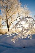 Frost on branch in winter along Animas River, Durango, Colorado, USA