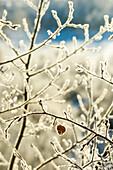 Frost on branch in winter, Durango, Colorado, USA