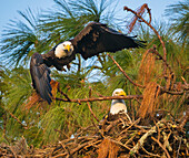 Male bald eagle (Haliaeetus leucocephalus) launching from perch and female with branch in beak in nest, Holiday, Florida, USA