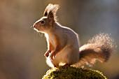 Red squirrel standing on mossy rock, Bispgarden, Jamtland, Sweden