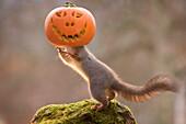 Red squirrel standing on mossy rock with carved pumpkin on head, Bispgarden, Jamtland, Sweden
