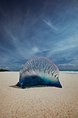 Atlantic Portuguese man o war (Physalia physalis) jellyfish on sand at beach, Elbow Beach, Bermuda