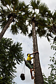 Farmer climbing tall palm tree to harvest oil, Bagan, Myanmar