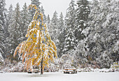 Scenery with trees and forest in winter, Whistler, British Columbia, Canada