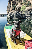 Small gray dog in vest sits on front of paddle board, Prescott, Arizona, USA