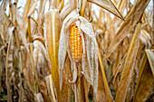 Yellow corn in field