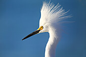 Portrait of a Snowy Egret (Egretta thula) against blue sky, United States of America, North America