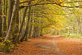 Autumn colours in beech woodland at Wombwell Wood, Barnsley, South Yorkshire, Yorkshire, England, United Kingdom, Europe