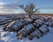 Hawthorn tree and Limestone pavement in winter snow at sunrise, Twisleton Scar, Ingleton, Yorkshire Dales, North Yorkshire, Yorkshire, England, United Kingdom, Europe