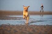 Dog and owner on Camber Sands, Rye, East Sussex, England, United Kingdom, Europe